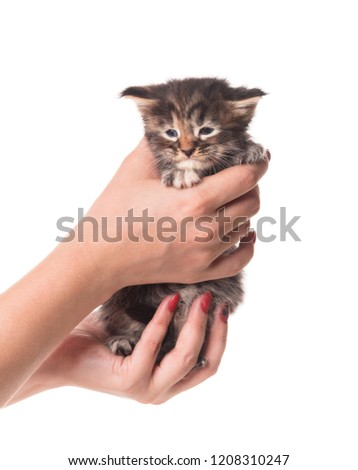Fluffy newborn Maine Coon kitten on the female hand isolated over white background #1208310247