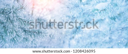 Winter bright background with  pine branch in  frost. Snow-covered pine branches.