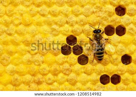 Macro photo of honey bee on a honeycomb with bee larvae. Reproduction of bees. Bees Broods. #1208514982