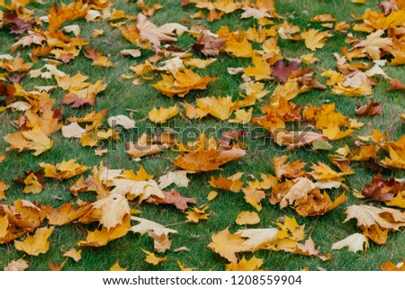 Autumn maple leaves carpet. Green grass covered with fallen foliage during nice season. Horizontal shot. Yellow and green colors #1208559904
