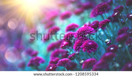 Chrysanthemum violet flowers blooming in a garden. Beauty autumn flowers art design. Bright vivid colors. Nature background. Autumn Backdrop #1208595334