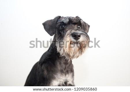 Young puppy of Mini Schnauzer #1209035860