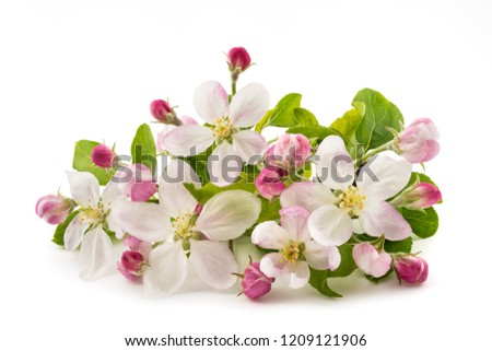 Apple Flowers with buds isolated on white background #1209121906
