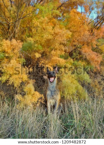 Autumn portrait of a Belgian Shepherd Malinois dog  against the background of bright autumn yellow coniferous foliage #1209482872