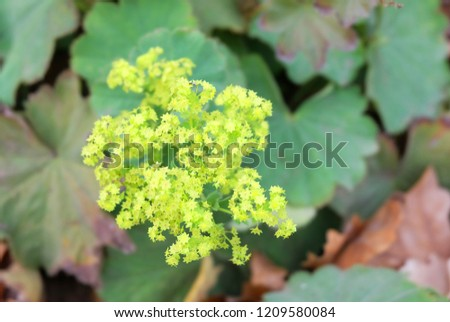 Blooming plant lady's-mantle(Alchemilla vulgaris)) on a bed in the botanical garden #1209580084