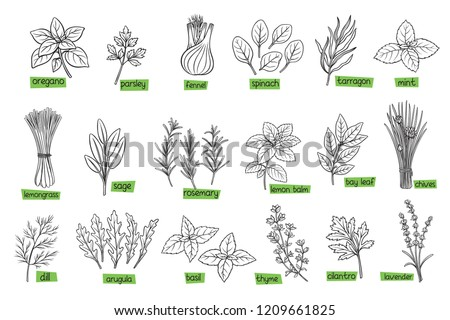Popular culinary herbs, hand drawn vector illustration. Bay leaf, lemongrass, fennel, dill, cilantro and chives. Thyme, lemon balm, tarragon etc. Seasoning food design #1209661825
