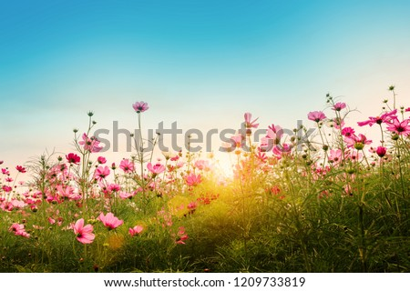 Beautiful pink cosmos flowers in garden at Jim Thompson Farm, Thailand. Vintage color tone style. #1209733819
