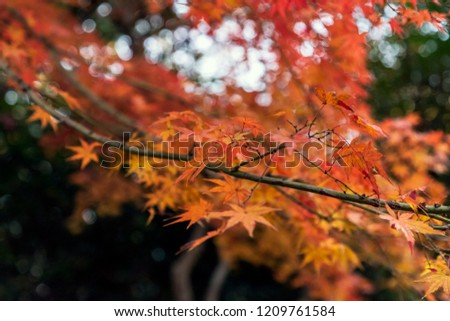 Japanese maple and autumn leaves.The shooting location is  Tokyo, Japan. #1209761584