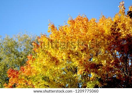 Autumn in the city: bright cheerful yellow-orange maple. #1209775060