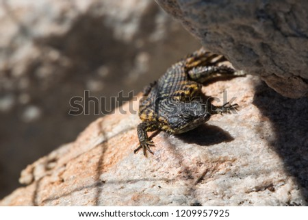 Cape Girdled Lizard (Cordylids) sitting on a rock close up of it facing the camera. Dark colored animal with very rough scales. #1209957925