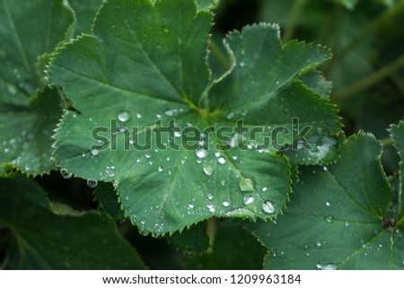 Lady's mantle (Alchemilla) leaves with water drops. #1209963184