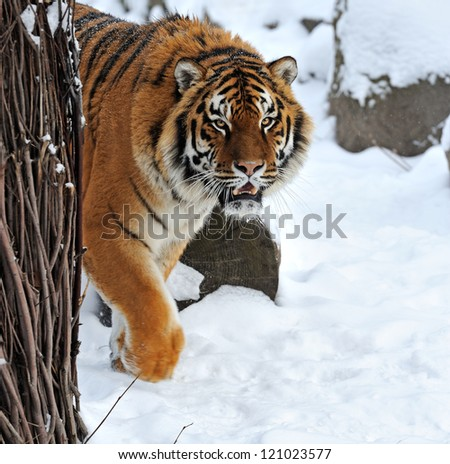 portrait Tiger in the forest in winter #121023577