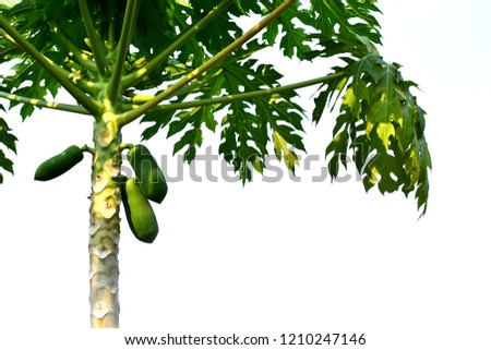 The papaya tree on white background. #1210247146