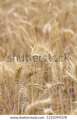 Bread wheat, Triticum aestivum, Triticum monococcum #1210399378