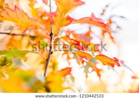 Yellow oak leaves against the sun, change of season #1210442533