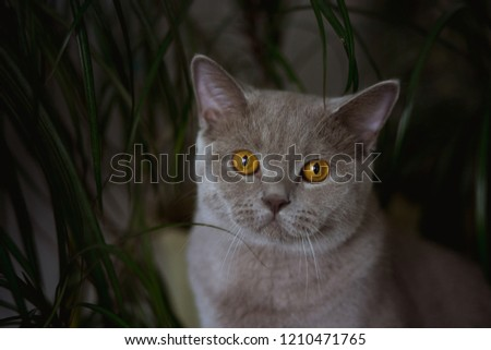 home young cat Shorthair Briton  british with yellow eyes sitting on a shelf with homemade flowers. #1210471765