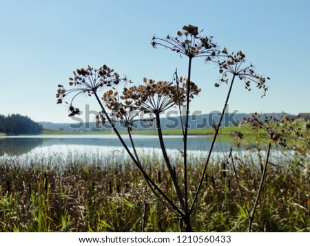 Grass plant in front of Aerial daylight view at Lake Lac des Tailleres close to La Brevine, CH Switzerland. 05th Oct. 2018 #1210560433
