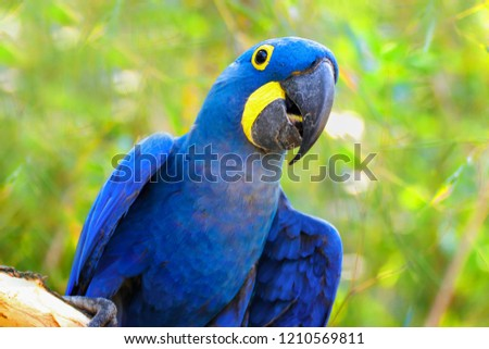 Big blue parrot Ara Hyacinth Macaw, Anodorhynchus hyacinthinus, blue king green Amazon on the green background. Photo of the animal world. Parrot Ara Hyacinth macaw on the green background.
