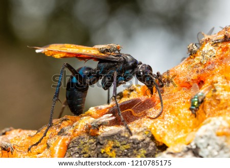 Closeup of a beautiful blue-black Tarantula Hawk spider wasp with orange wings, feeding on persimmon fruit pulp in fall