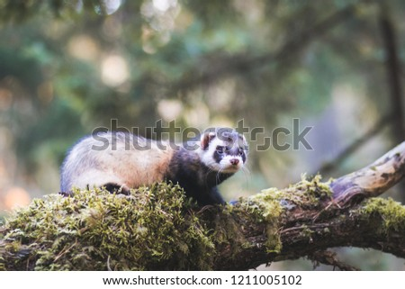 Fluffy ferret pet posing in the forest.