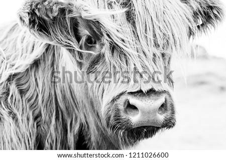 Scottish cow portrait Royalty-Free Stock Photo #1211026600