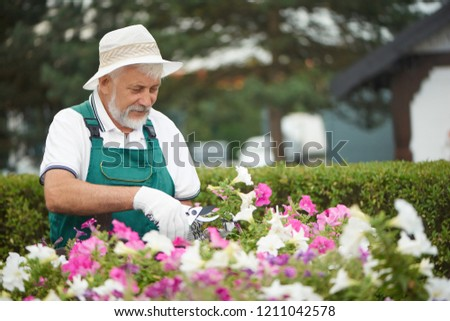 Senior gardener cutting flowers in pot with special secateurs in garden. Attractive bearded man, wearing in special overalls with protective gloves and light hat, working with love in eyes with plant. #1211042578