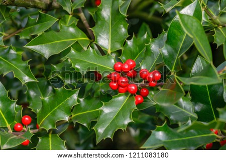 Ilex aquifolium or Christmas holly. Holly green foliage with matures red berries.  Green leaves and red berry Christmas holly, close up  #1211083180