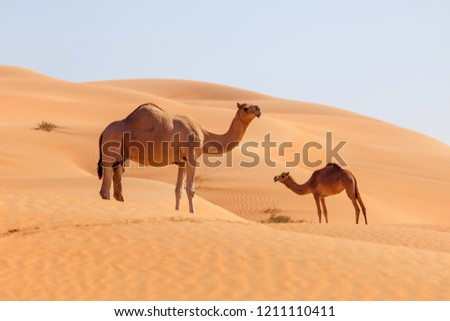 Two middle eastern camels in a desert Royalty-Free Stock Photo #1211110411