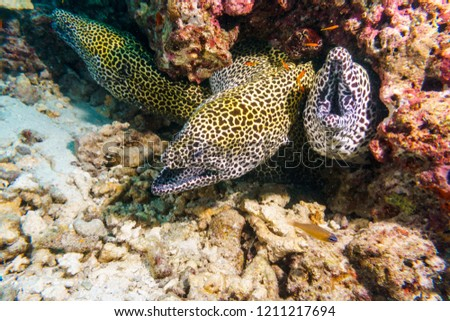 Leopard Moray eels nest on the coral reef of Maldives. #1211217694