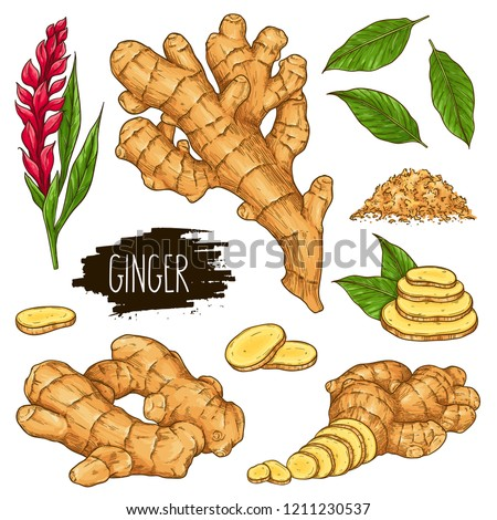 Hand drawn herbal set of ginger root, slices pieces, powder, leaves and flower isolated on white background with label. Design for shop, market, book, menu, poster, banner. Vector sketch illustration Royalty-Free Stock Photo #1211230537