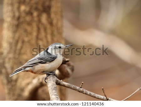 White-breasted nuthatch, Sitta carolinensis, perched on a tree branch with copy space #121140436