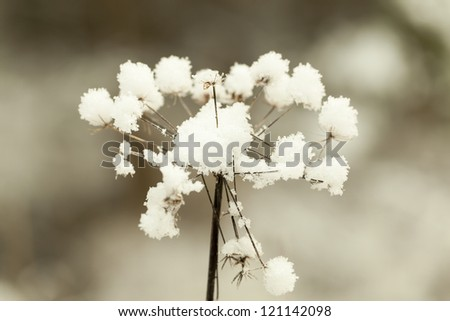 Snowy, withered plant in a meadow in winter #121142098