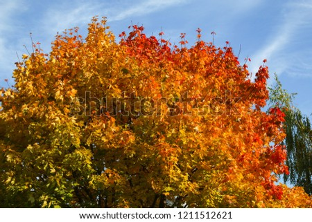 Autumn colorful maple #1211512621