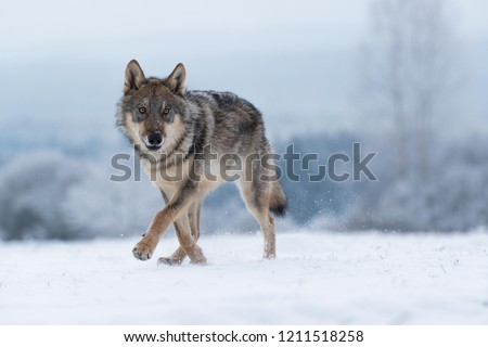 wolf in snow, attractive winter scene with wolf, close to wolf in snow #1211518258