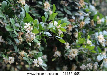 Phillyrea latifolia, commonly known as green olive tree or mock privet, #1211521555