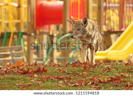 Urban Coyote in School Park