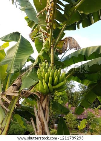 green ripe banana in farm #1211789293