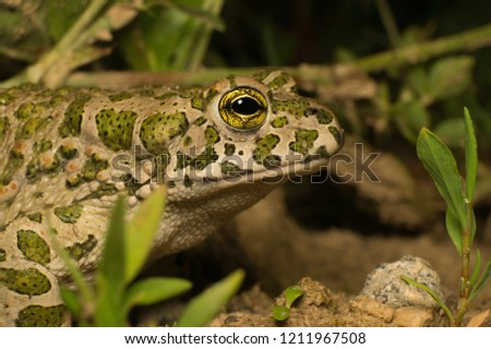 Close-up portrait shot of European green toad (Bufo viridis, female) with olive green spots and golden yellow eyes. Photographed at night in natural habitat in Moscow Region, Russia. #1211967508