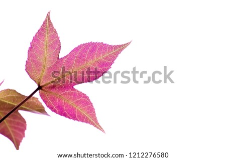 magenta leaves with white background #1212276580