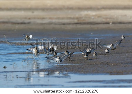 Dunlin (Calidris alpina) in the nature. Moscow region, Russia. #1212320278