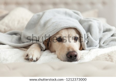 Bored young golden retriever dog under light gray plaid. Pet warms under a blanket in cold winter weather. Pets friendly and care concept. #1212373000