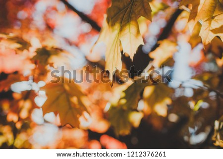 background of tree with red and yellow gold leaves on a tree in autumn with sun light #1212376261