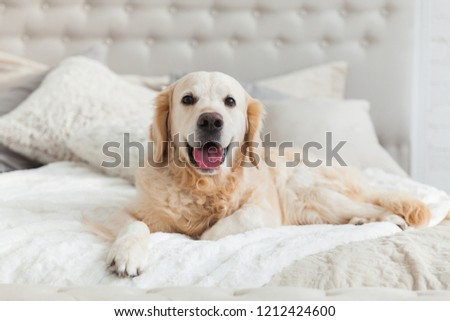 Golden retriever puppy dog in luxurious bright colors classic eclectic style bedroom with king-size bed and bedside table. Pets friendly  hotel or home room. #1212424600