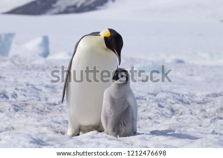 An Emperor Penguin with chick at the Emperor Penguin Colony at Snow Hill, Weddell Sea, Antarctica. October 2018.
