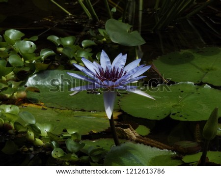 Nelumbo nucifera. Lotus Flower. Flor de loto.  Loto sagrado #1212613786