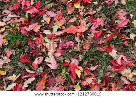 Red leaves carpet  #1212730015