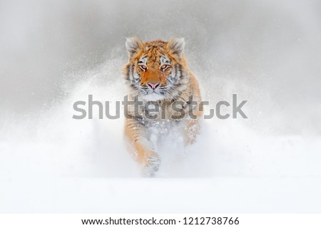 Tiger running in the snow, wild winter nature. Siberian Amur tiger, Panthera tigris altaica, wildlife scene with dangerous animal. Cold winter in taiga, Russia. White Snowflakes with wild cat.  #1212738766