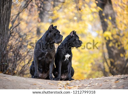 Two Cane Corso dogs are  sitting  in the autumn park #1212799318