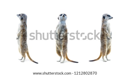 Portrait of a three meerkats standing and looking alert isolated on white background.