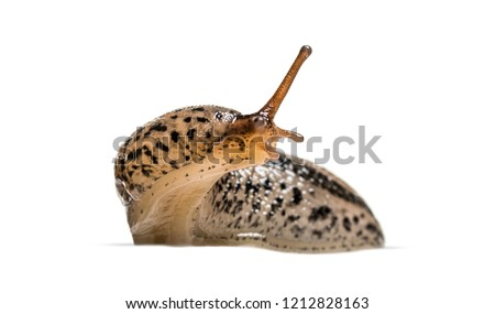 Limax maximus, literally, 'biggest slug', known by the common names great grey slug and leopard slug, in front of white background Royalty-Free Stock Photo #1212828163